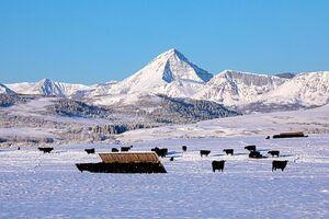 Cattle - winter 2