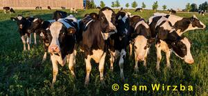 Cattle - dairy 3