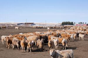 Cattle - feedlot 4