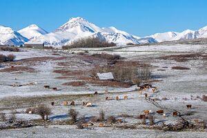 Cattle - herd 3