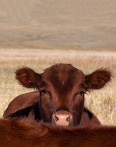 Cattle - Portraits 2