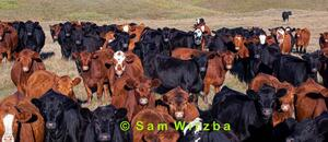 Cattle - yearlings 3
