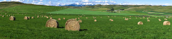 Round bales, hay field, Longview Alberta