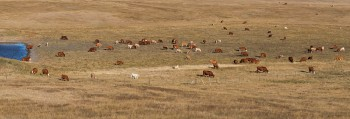 cows and calves, native prairie rangeland