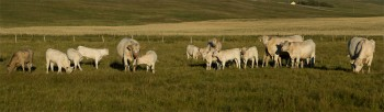 Charolais cows and calves
