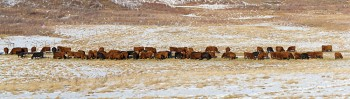 cattle, red angus, black angus, winter feeding, round bale, hay