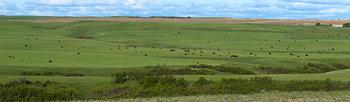 Cattle herd 14_cwpn_1196_05