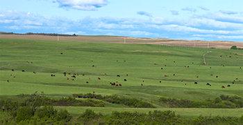 Cattle herd 14_cwpn_1235_42