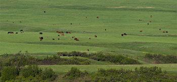 Cattle herd 14_cwpn_6661_67