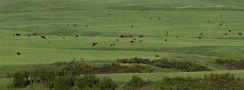 Cattle herd 14_cwpn_6703_13
