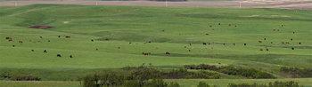 Cattle herd 14_cwpn_6789_99