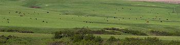 Cattle herd 14_cwpn_6801_10