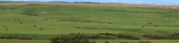 Cattle herd 14_cwpn_6823_32