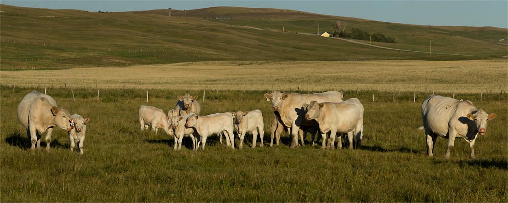 Charolais cows and calves, photo